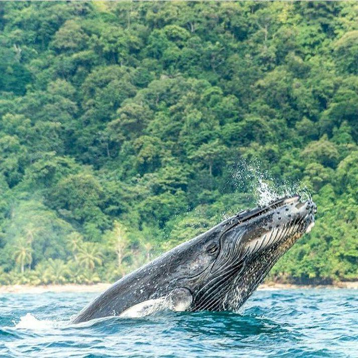 Ballenas en la Isla Gorgona-Pacífico de Colombia