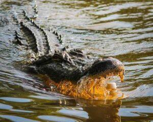 excursión desde Baton Rouge, caimán del mississippi