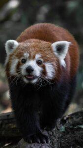 Reserva de pandas Chengdu