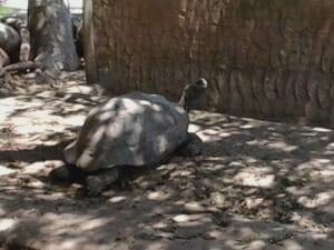 Las tortugas Gigantes de las Islas Galápagos.