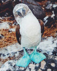 alt piqueros patas azeles en Galápagos